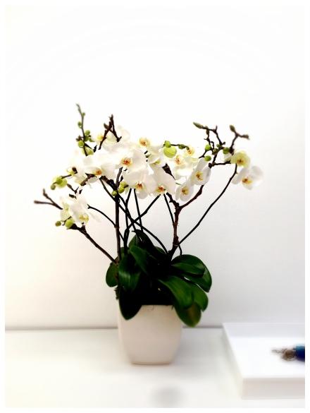 meeting tableが届いた所で、お祝いにと夫が大好きな白の蘭の鉢をオフィスのお祝いにプレゼントしてくれました