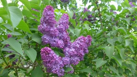 今が季節のライラック。彼の実家のお庭にも、そして散歩に出れば至る所で咲いています