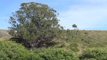 この木、ポツーーンと立っていますがものすごい巨木でした。